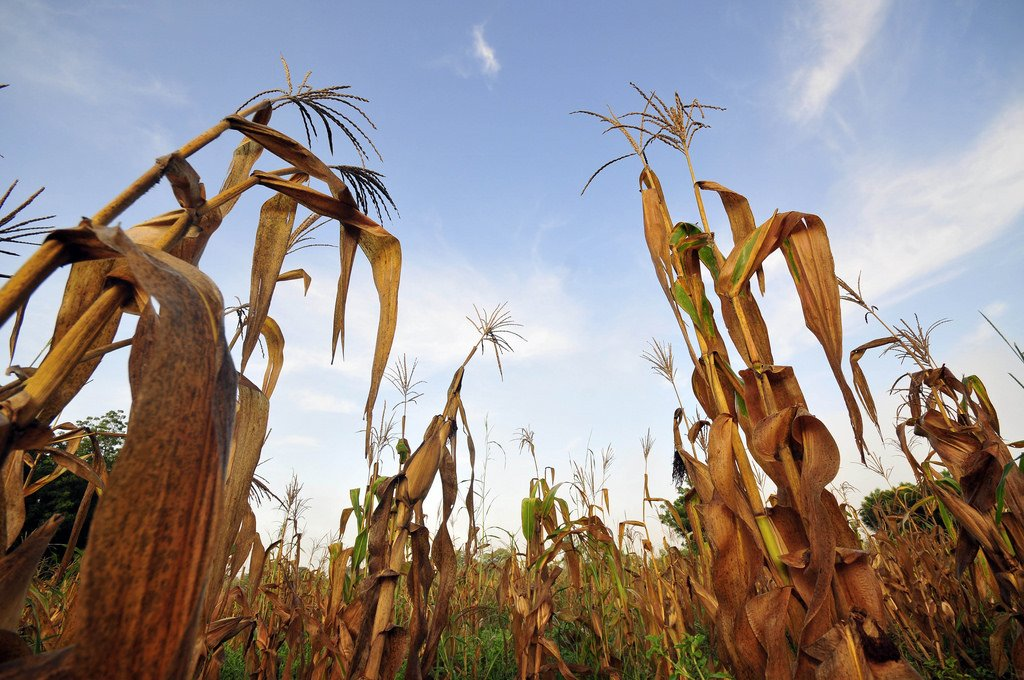 #ClimateChange will reduce maize yields unless breeding and seed systems adapt immediately. https://t.co/6eNeeZajPf https://t.co/immDU9j4oZ