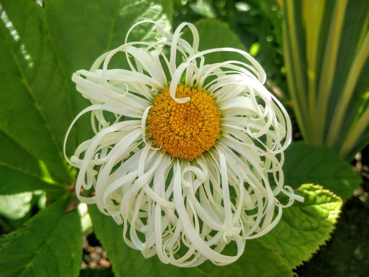 Kew Gardens On Twitter Leucanthemum X Superbum Beaut Nivelloise