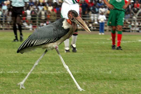 Here's a picture of a marabou stork that got onto the pitch during a World Cup match between Kenya & Morocco in 2005 https://t.co/eAW10DaNGt