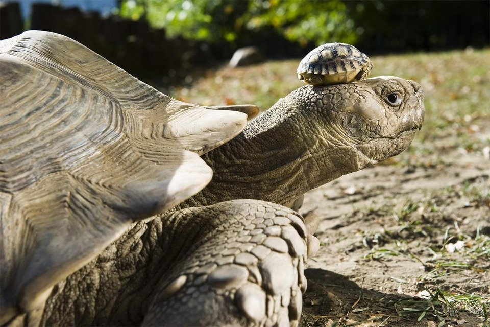 If recent events are getting you down, look at this 140-year-old tortoise wearing her 5-day-old baby as a hat. https://t.co/HyYNX2buAv