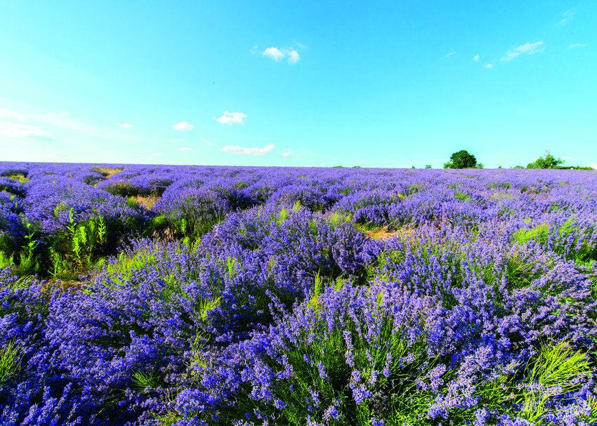 Wake up and smell the lavender, our organic, fairly-traded lavender from Moldova, that is. #weledaisfairtrade https://t.co/4kuUxIheRR