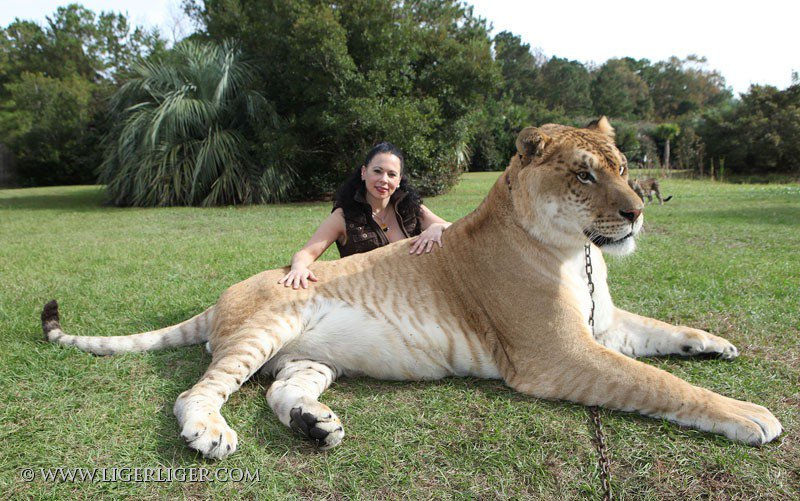 male lion weight - 796×500