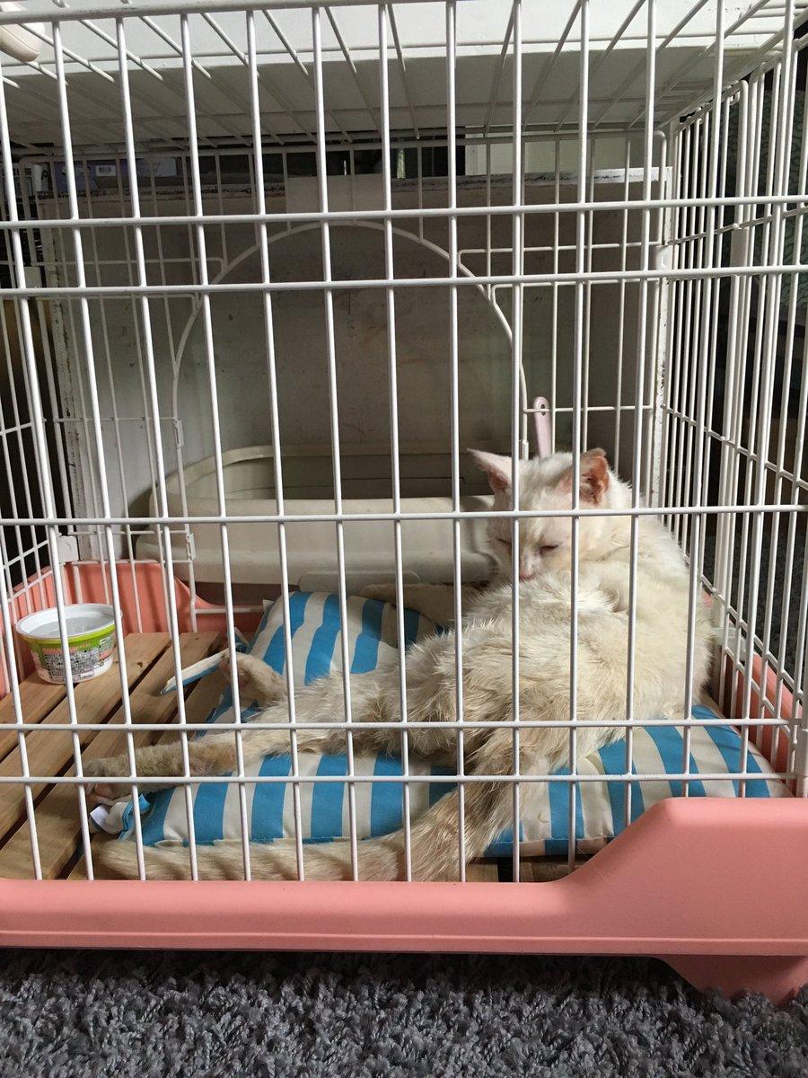 とりあえず病院にいって風邪をひいているので注射と薬をたぶん3歳から7歳らしい、シャワーしてノミトリ駆除の薬して事務所でゲージのなかおとなしく寝てます。保健所も警察も電話したけど、今は迷い猫情報はないそうでし。#シロ猫#迷い猫 https://t.co/zohpDQzH8H