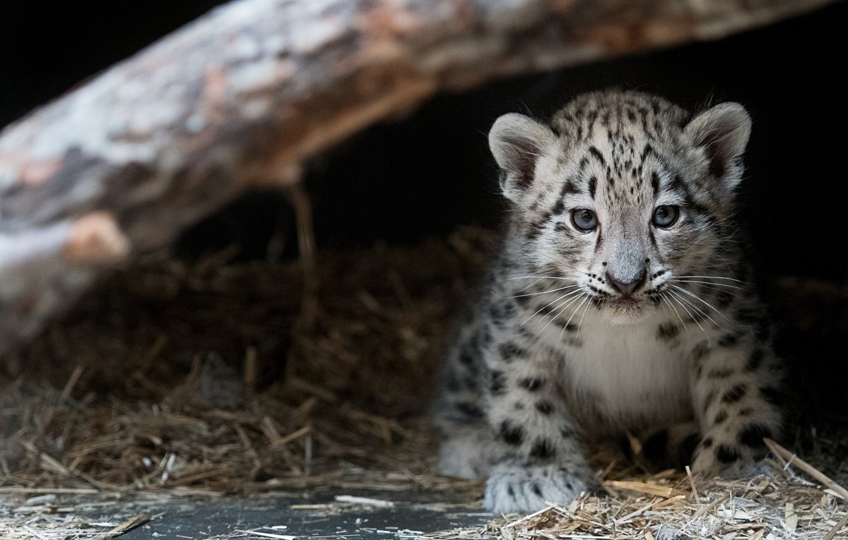 BIRTH ANNOUNCEMENT via @fox8news: We're proud to introduce a 10-week-old female #SnowLeopard!!!