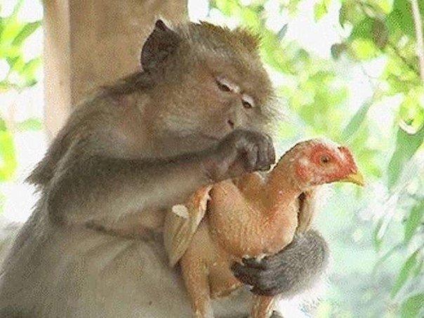 Убрать, открытка петух и обезьяна