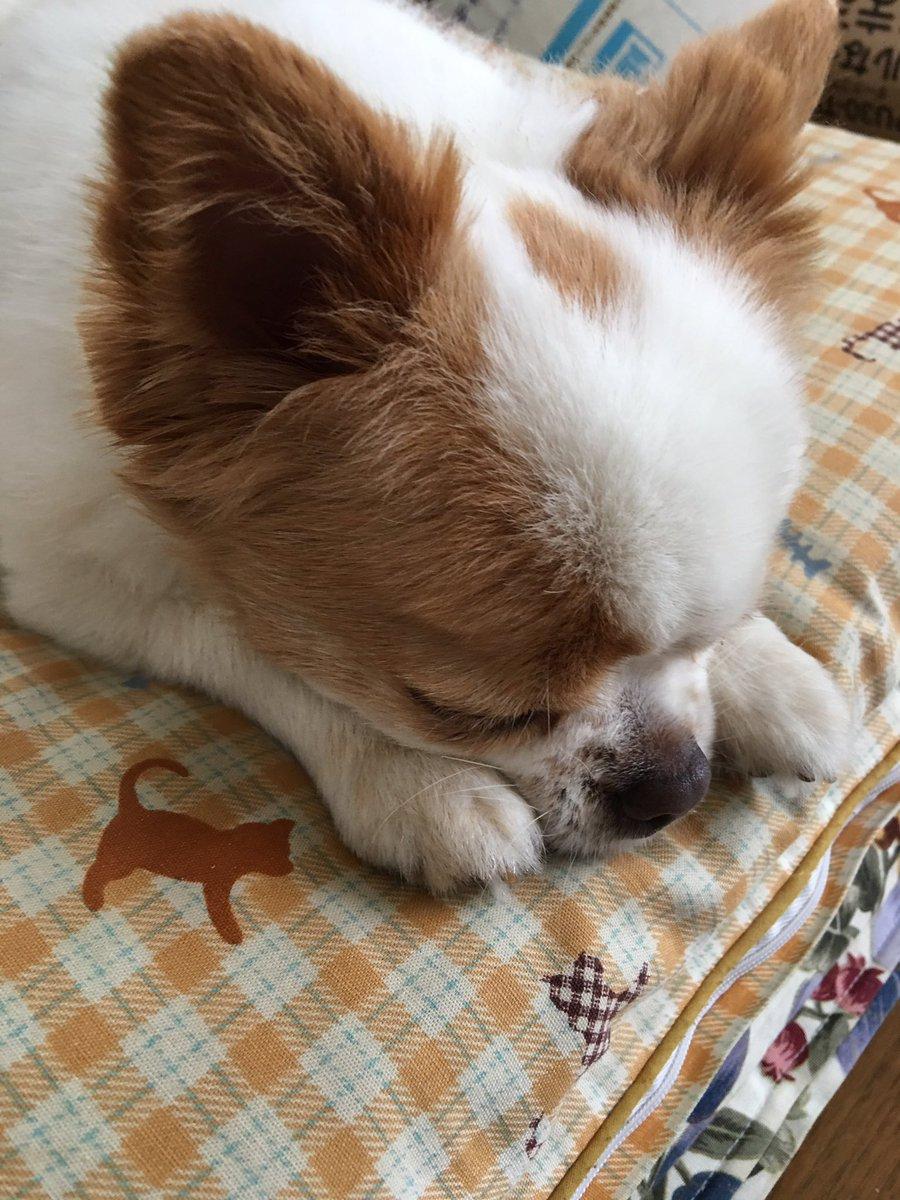 この寝姿がたまらん。 短足チワワのフーちゃんです〜〜。 https://t.co/Bm6k1bfIod
