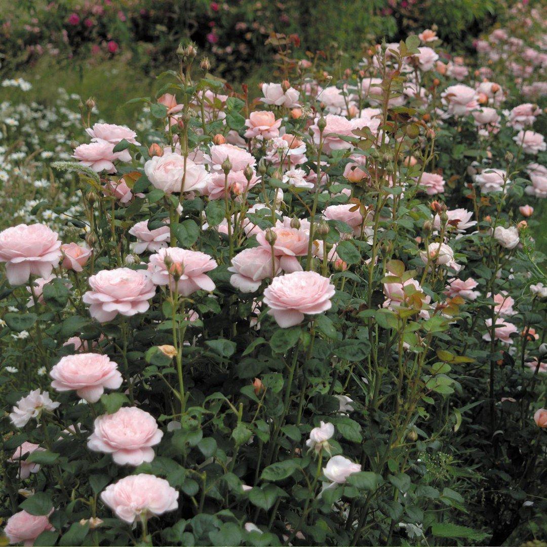 Роза сорт королева швеции отзывы фото значит