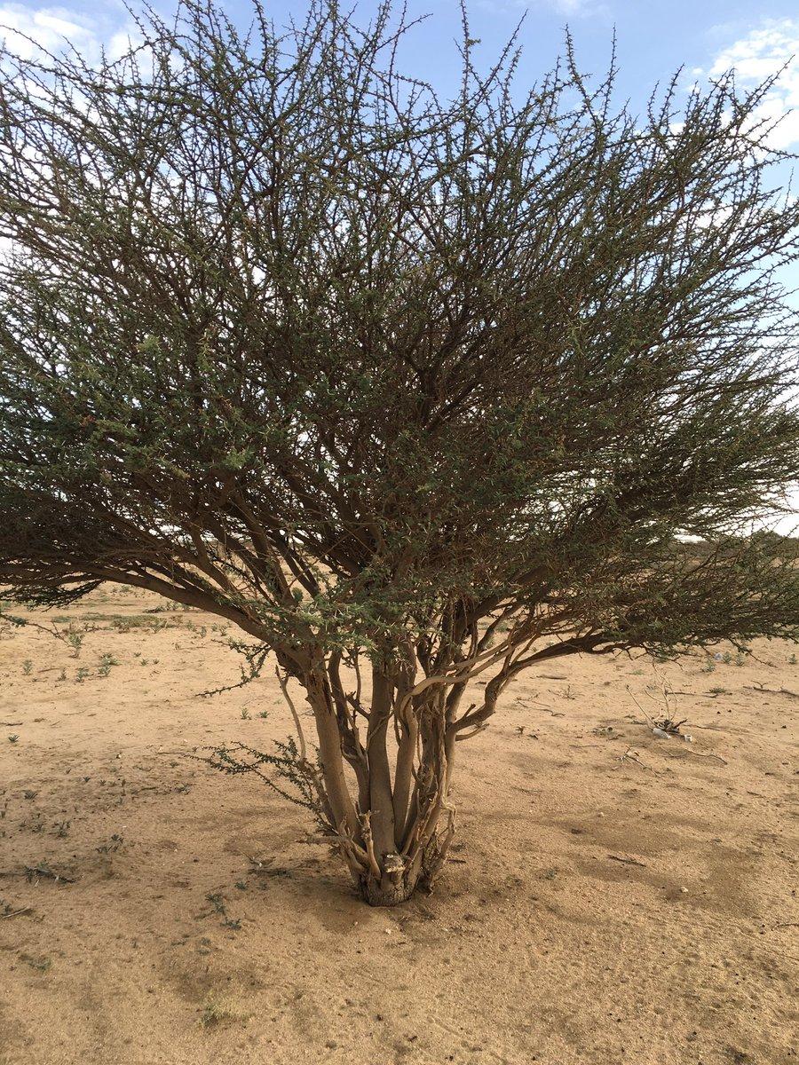 نباتات الطائف البرية على تويتر علميا السمر نوع من الطلح
