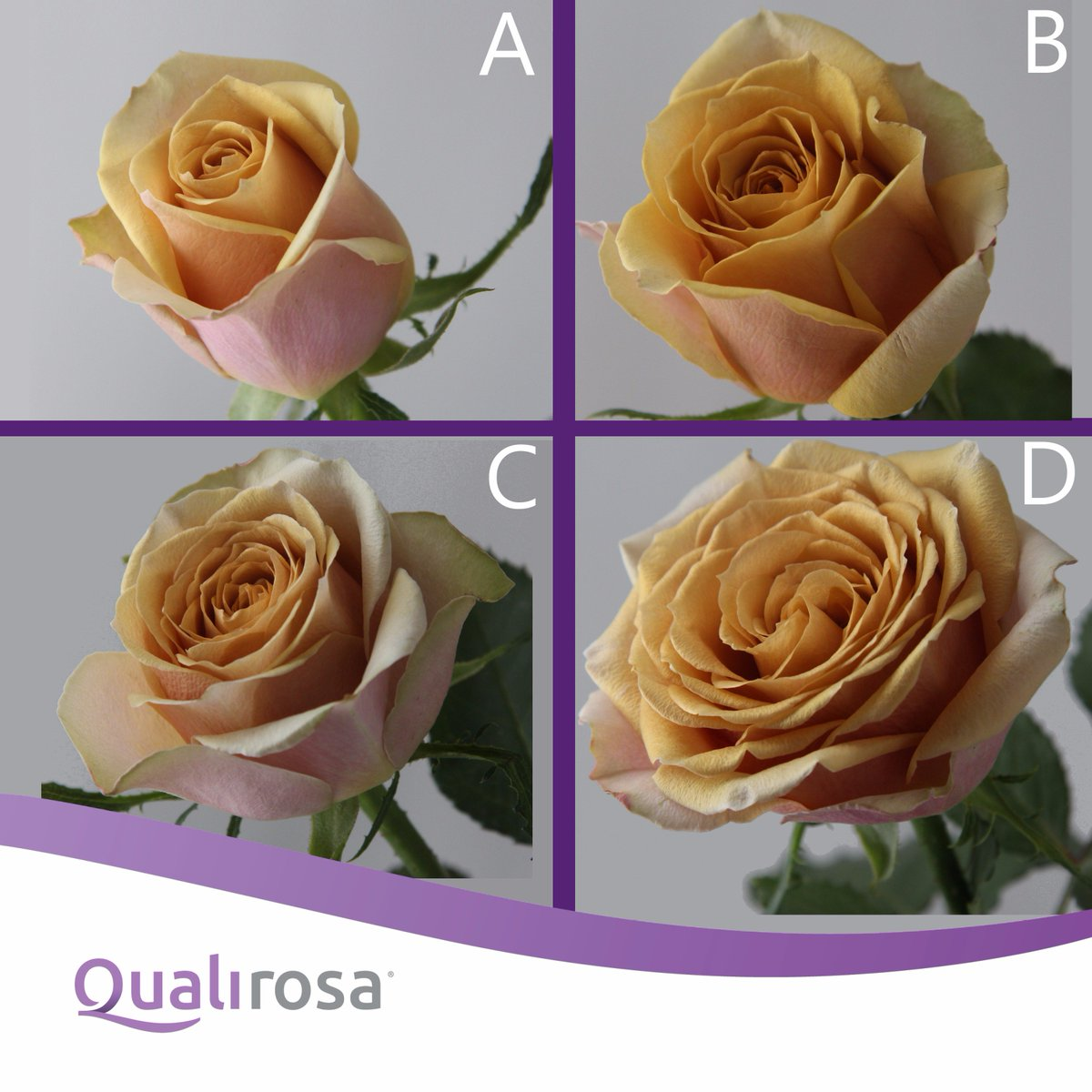QualiRosa On Twitter Which Flower Stadium Do You Prefer Golden Mustard Rose Day 1 A 3 B 6 C And 12 D Qualirosa