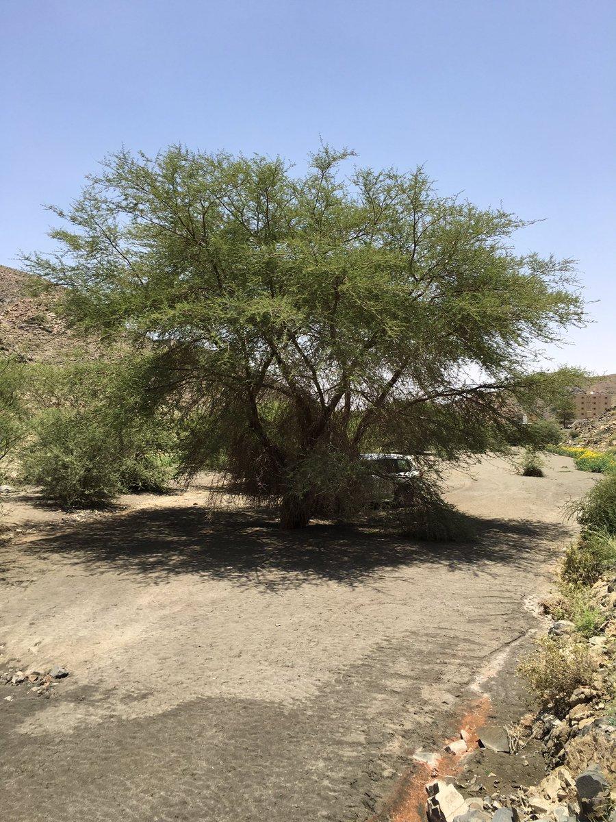نباتات الطائف البرية Twitterren السيال شجر آخر غير الظهيان وهو شبيه بالطلح والسمر