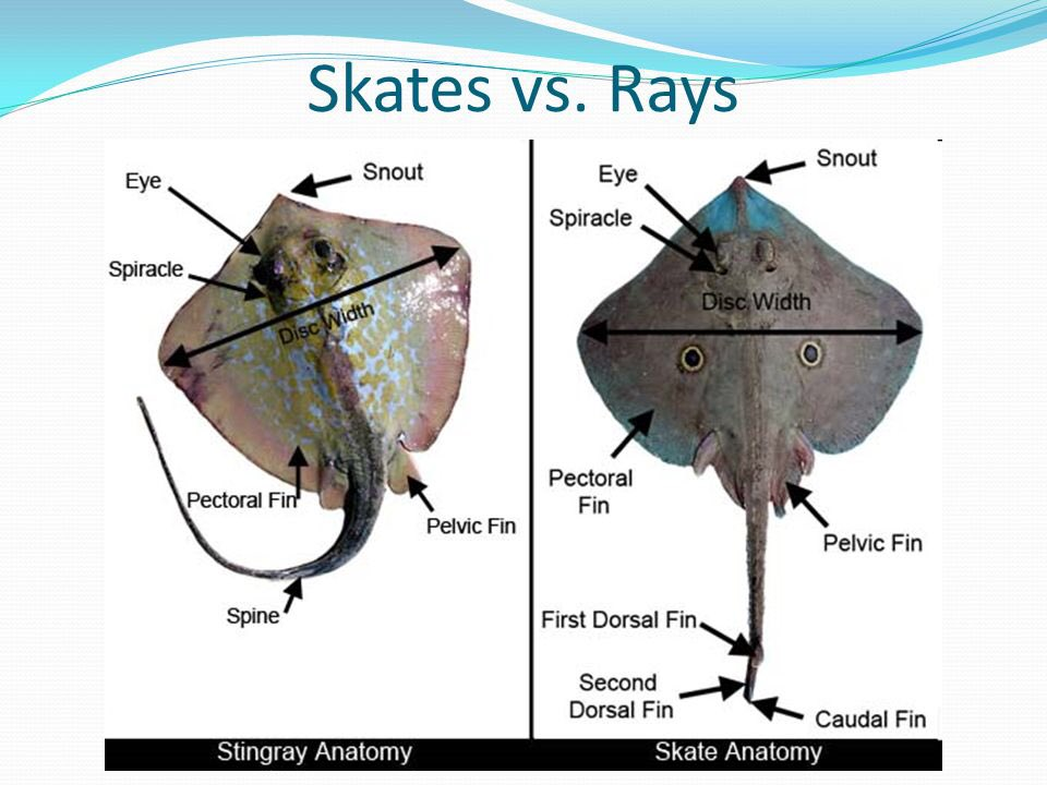 Alisa schwartz on twitter what is the difference for Skate fish facts