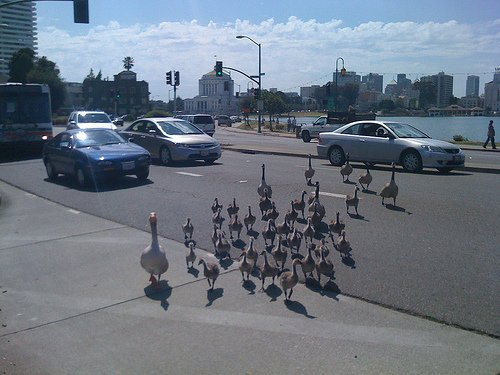 Goose lives matter protest blocking the streets. :D https://t.co/zhmRRLXiX6