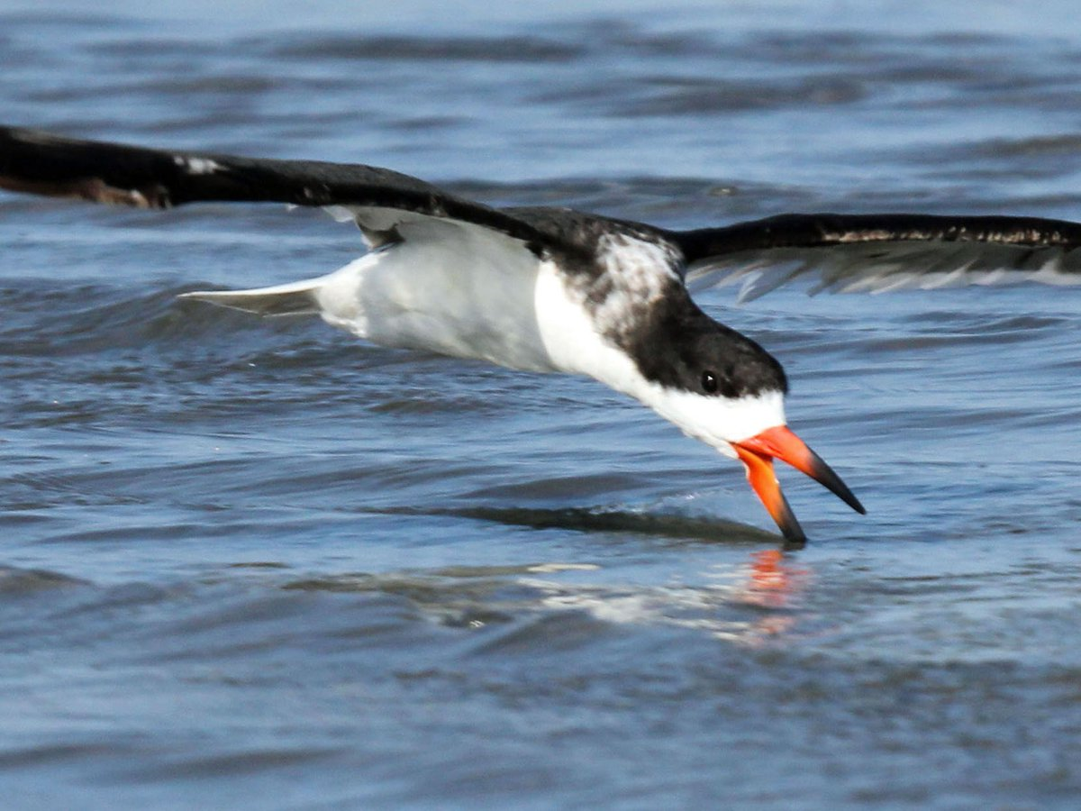 Black skimmers use their beaks to skim the water's surface for prey. They nest on our beaches from March to August. https://t.co/dJesr4KQrP