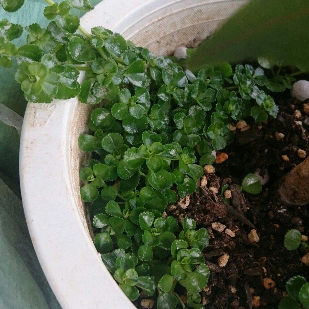 ピレアディプレッサという植物です。