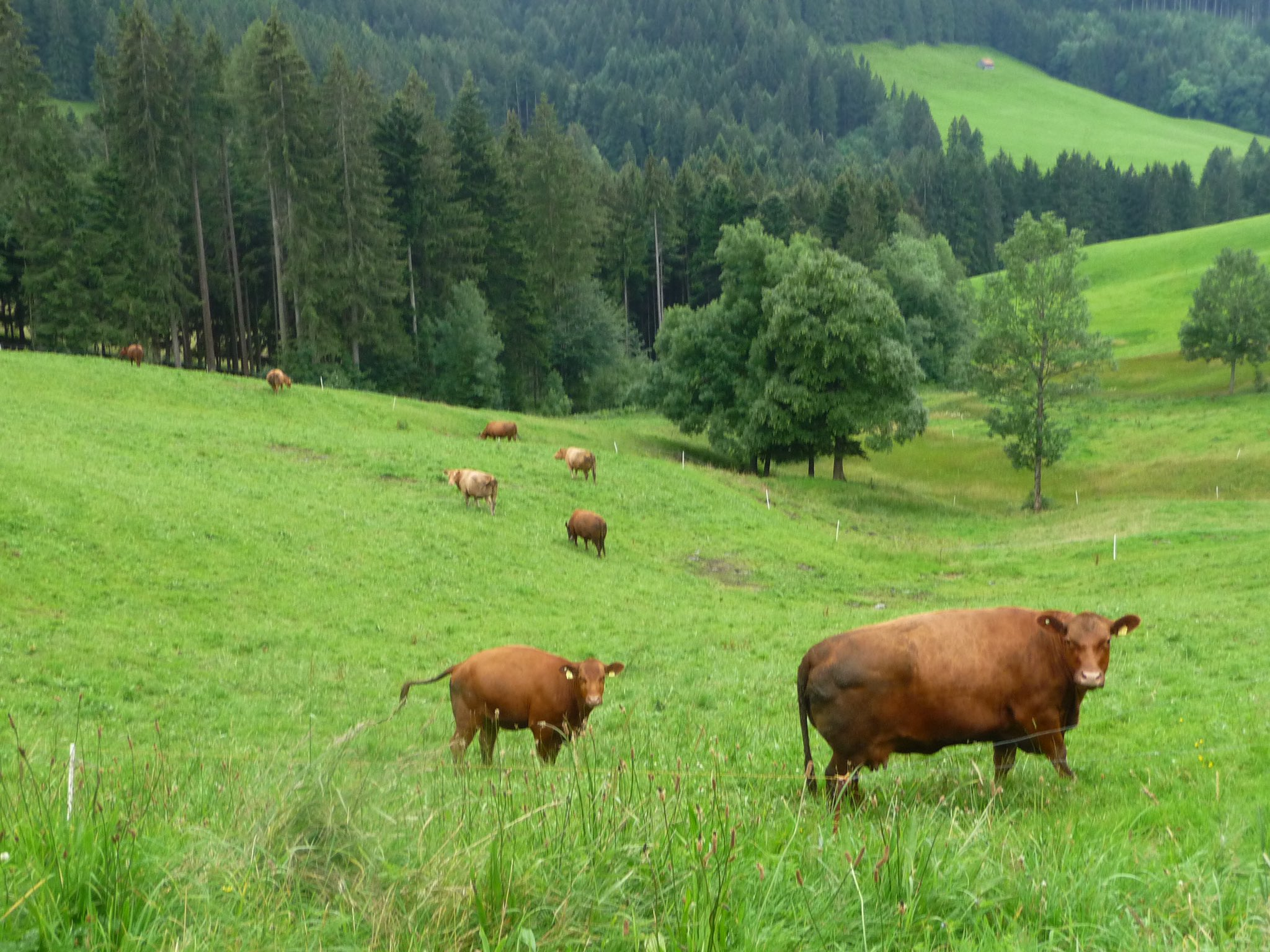 Here are some cows in Appenzell especially for @lesvachesdutour #sbstdf goes to Suisse 🇨🇭🚴 https://t.co/mTNFThVA0s