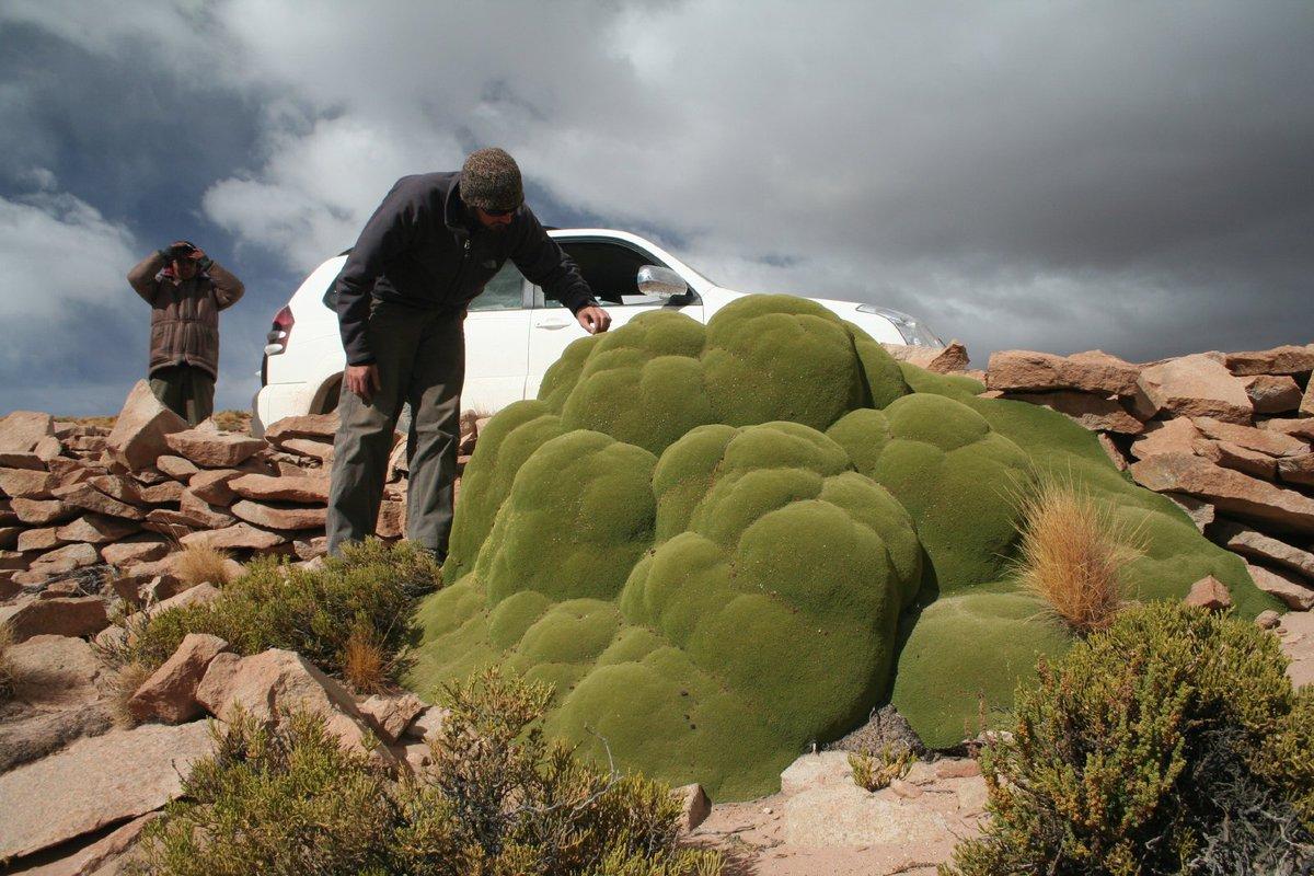 Resultado de imagen de растения подушки