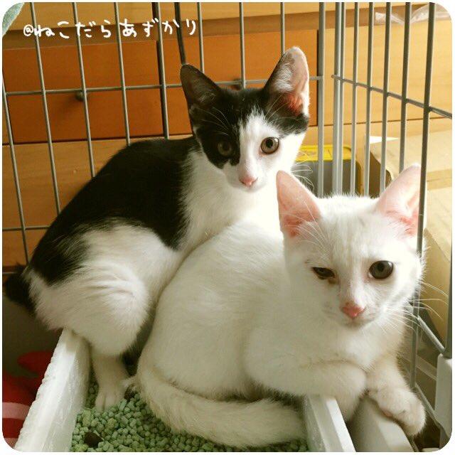 動物に対して自分は何ができるだろうと思って考えてた結果、家にいる時間も多いので保護猫の預かりをすることに。人に慣れてない子猫を預かって、ニンゲン信用してもいいかもにゃと、子猫様のお言葉を頂くボランティアです。 怯えた子ニャンコを… https://t.co/cPxnzcyAzb