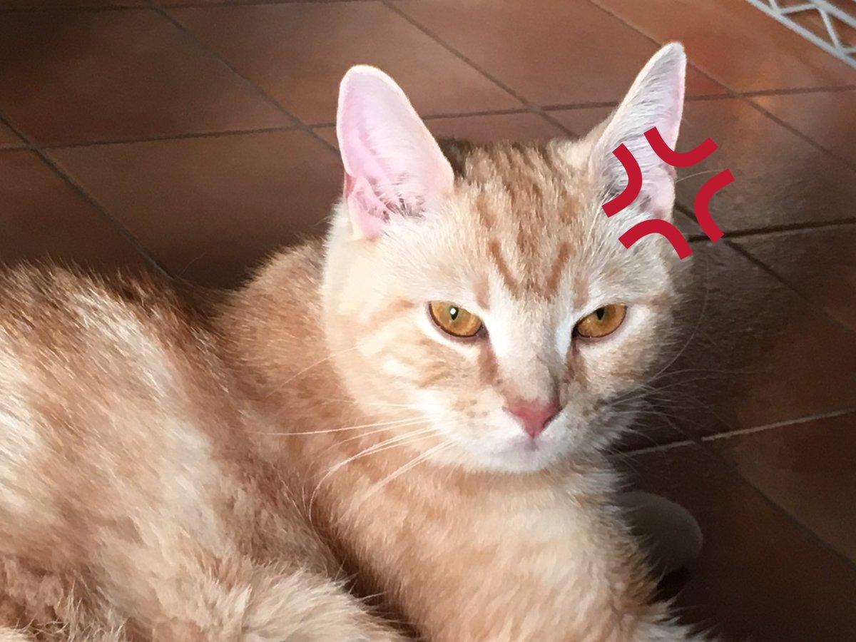 このやろー、ちゅーるで騙して病院連れて行きやがったな!ゼーッタイ忘れねーからな!! と、いう顔でさっきからずっと睨まれてます(´-`).。oO(ごめんね)  #cat #猫 #猫部  #スコティッシュフォールド#ふく https://t.co/7fwgOHTUmt