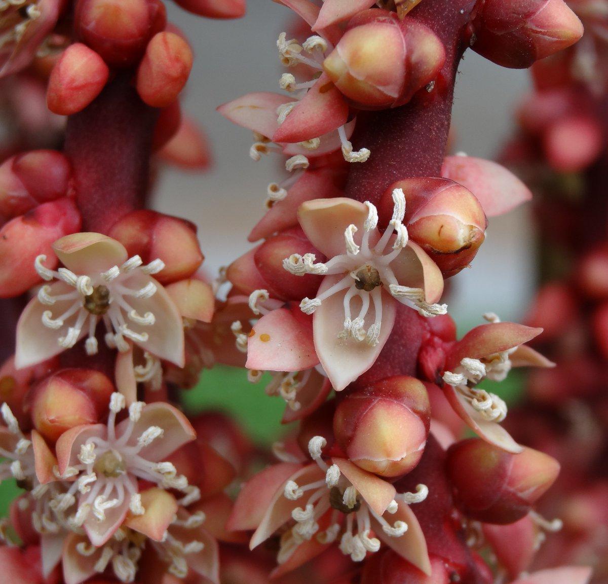 Flowers Of Sri Lanka On Twitter Loxococcus Rupicola Dothalu Palm