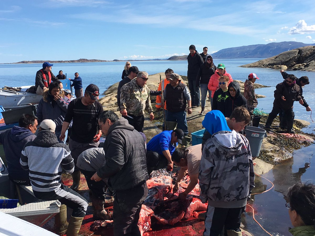 Harvesting a delicious beluga whale in Frobisher Bay means many people to be fed #inuuvugut #muktaaq #quvianaq