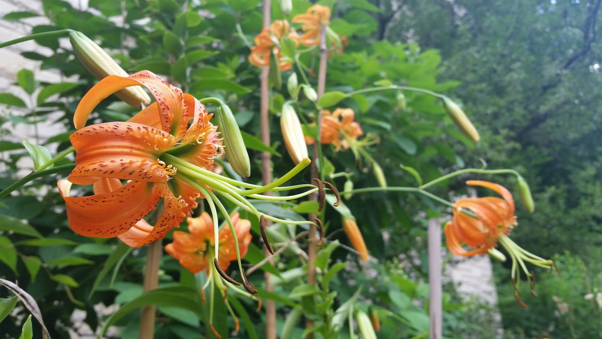 Lilium henryi looking gorgeous in our sunken gardens!  Grows over 4' tall! Don't they resemble little jellyfish?