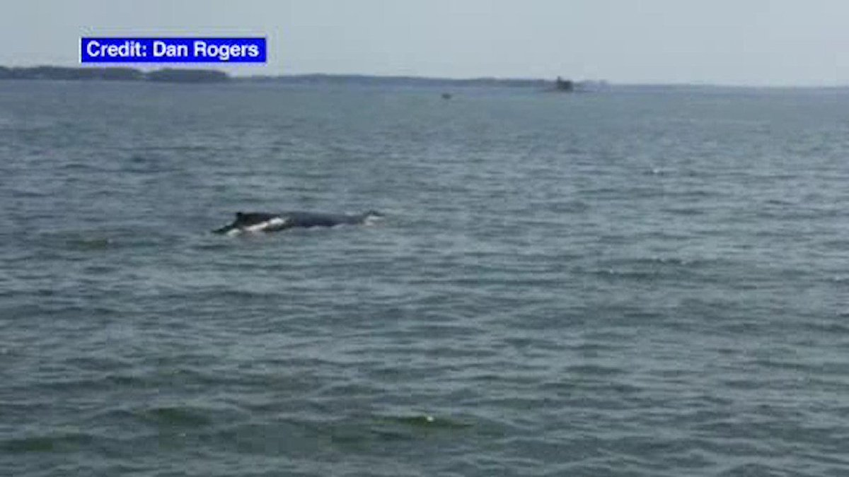 Whale in Long Island Sound spotted near New Rochelle