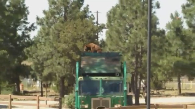 Bear catches wild ride on top of a garbage truck >>