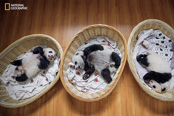 Stunning photos from @NatGeo of pandas born in captivity soon to be released into wild-->