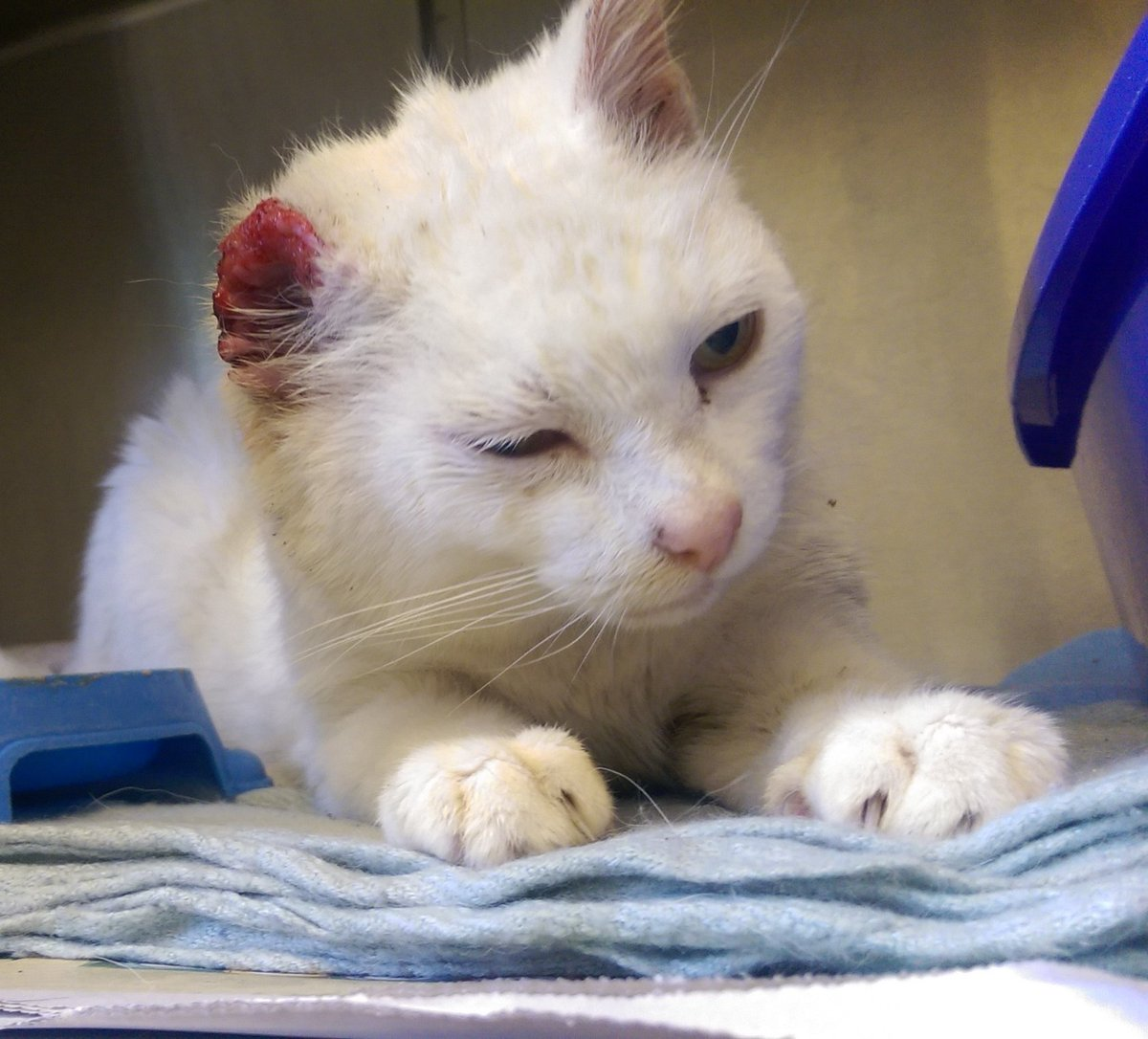 Shakirafree On Twitter Don T Forget To Advise Owners Of White Cats To Protect Their Ears This Poor Boy Has Severe Skin Cancer Whatvnsdo