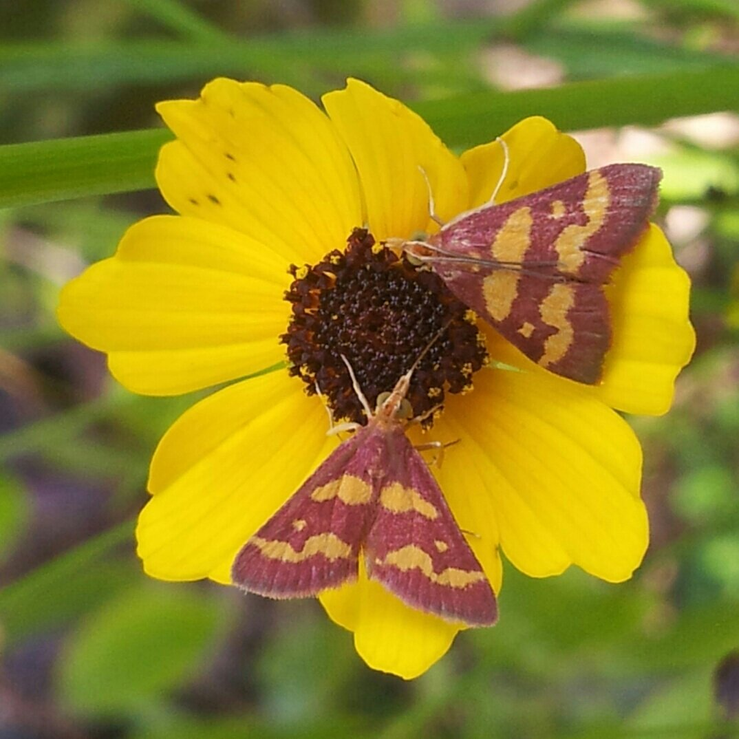 Pyrausta tyralis moth prefers Florida's coffee plant as its host (Seen here visiting Coreopsis) #NationalMothWeek