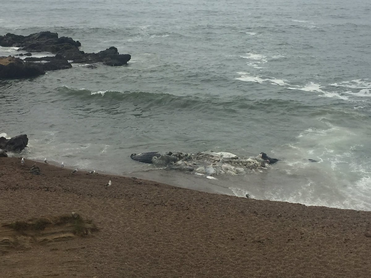 A dead young humpback found along beach at Pescadero, most likely killed in collision with a ship.