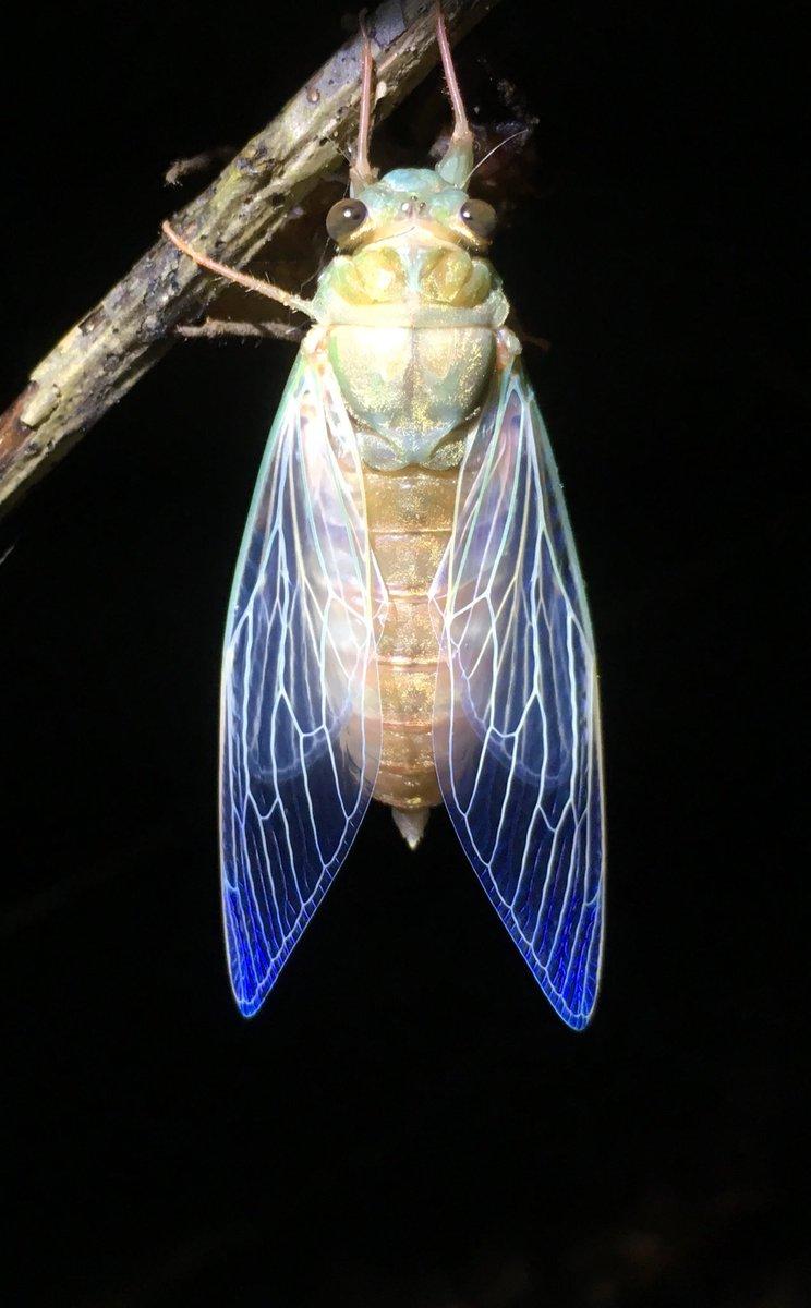 セミが羽化の瞬間にだけ見せる翅の青には、きっと名前があると思うんだ。 https://t.co/0UOP6hOnrS