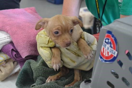 63 chihuahuas removed from Larimer County home. They'll be available for adoption soon.