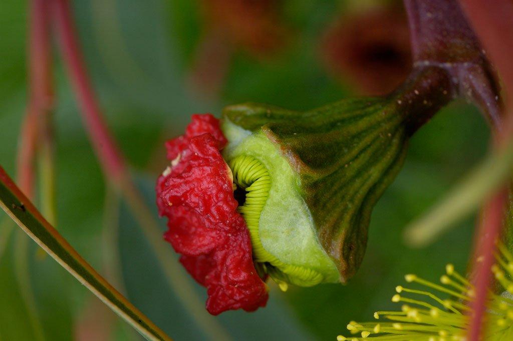 когда цветет эвкалипт фото