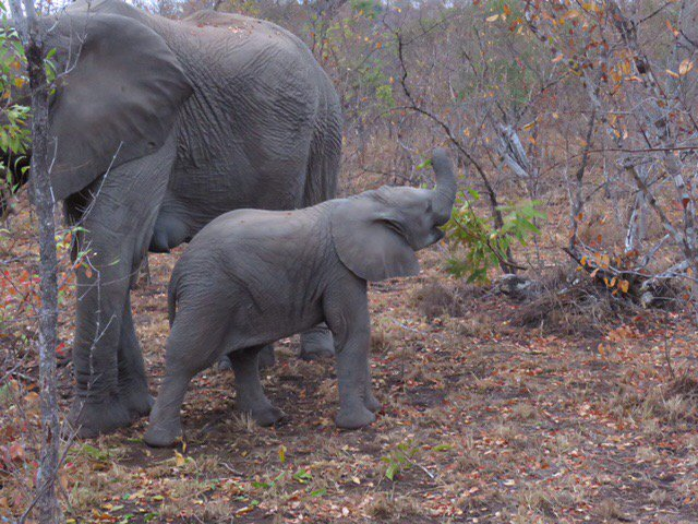 I swear this baby #elephant is laughing (at me?). #safaris @sabisandsGR https://t.co/iPg7jGCsS2
