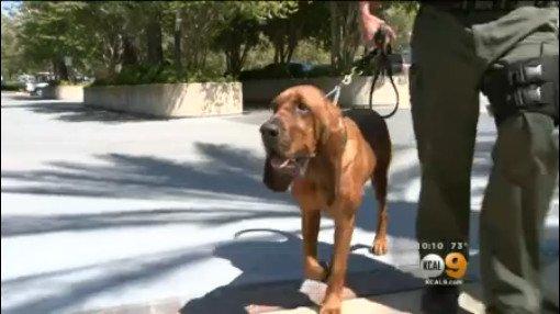 Bloodhound Helps Deputies Find Kidnapped Girl In Woods Of San Bernardino County