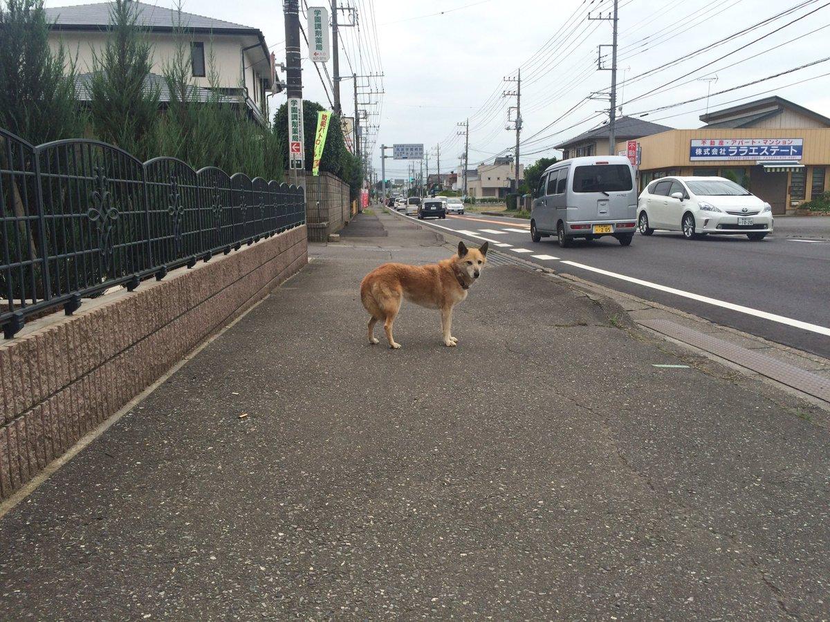 つくば市上横場で迷子犬! 近く行くと逃げてしまい確保出来ませんでした。  #迷子犬 #迷い犬 #つくば https://t.co/q8iBOzfFPy