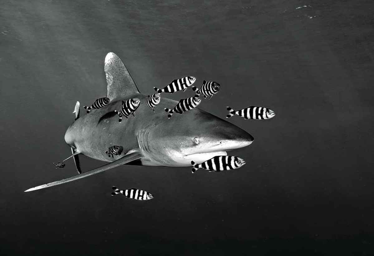 #whitetipshark in the #RedSea … http://scubadiv.in/RedSeaAggressor pic.twitter.com/gHp4ZLnG91