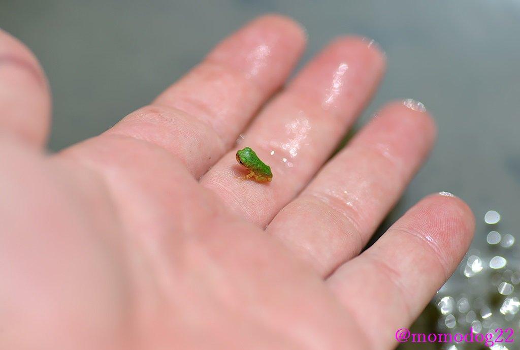 めちゃ小さいアマガエル。オタマジャクシを赤ちゃんとすると、上陸したての仔ガエルは3歳児くらいだろうか。めちゃくちゃかわいい。 7/27 pic.twitter.com/tMVqOpMyAa