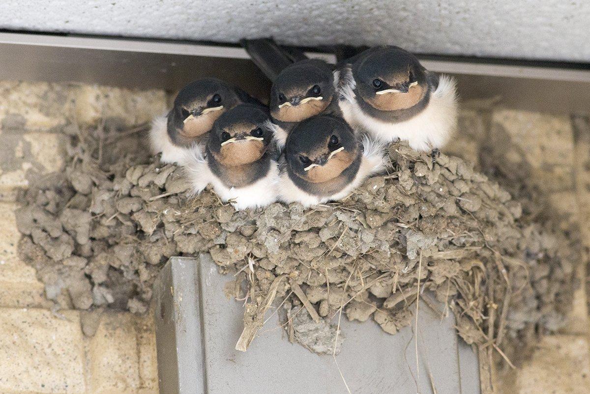 ツバメの巣は材質にもよりますが雛たちが育つ過程で壊れます。写真の巣は巣立ち前と後で、一見普通に見えますが縁がかなり壊れてます。なので、巣が壊れて雛がいなくなっても無事に巣立った後ということも多いです。 pic.twitter.com/WMuc4uf6dL