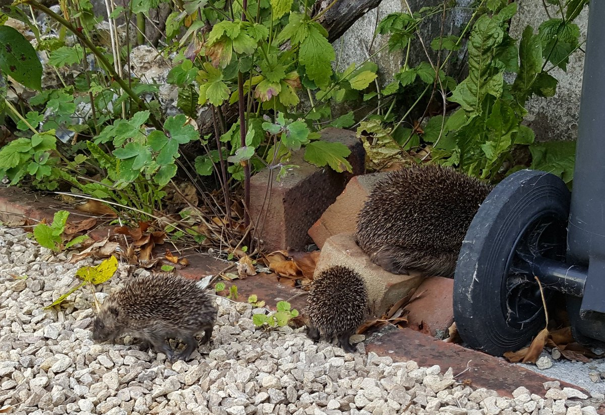 Wonderful early morning pic of #hedgehog mum and #hoglets exploring hedgehog champion Abigail Burn-Murdoch's garden https://t.co/v2adgnON6o