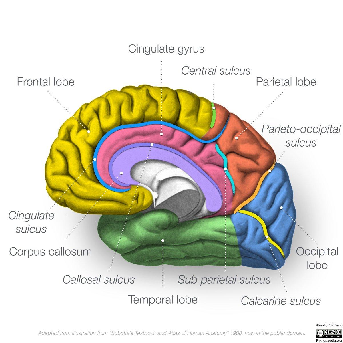 Frank Gaillard On Twitter More Neuro Anatomy Diagrams Now
