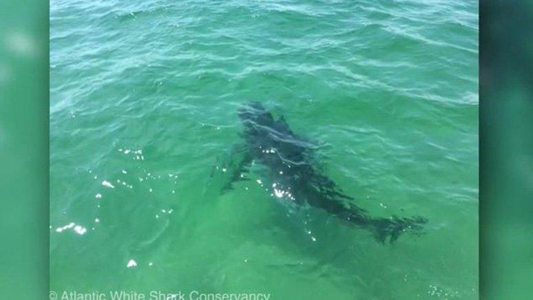 Ninth shark of summer tagged off Cape Cod coast 7News