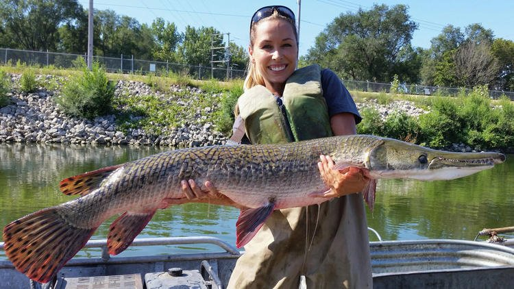 Fearsome-looking and once-hated fish now seen as potential weapon against Asian carp