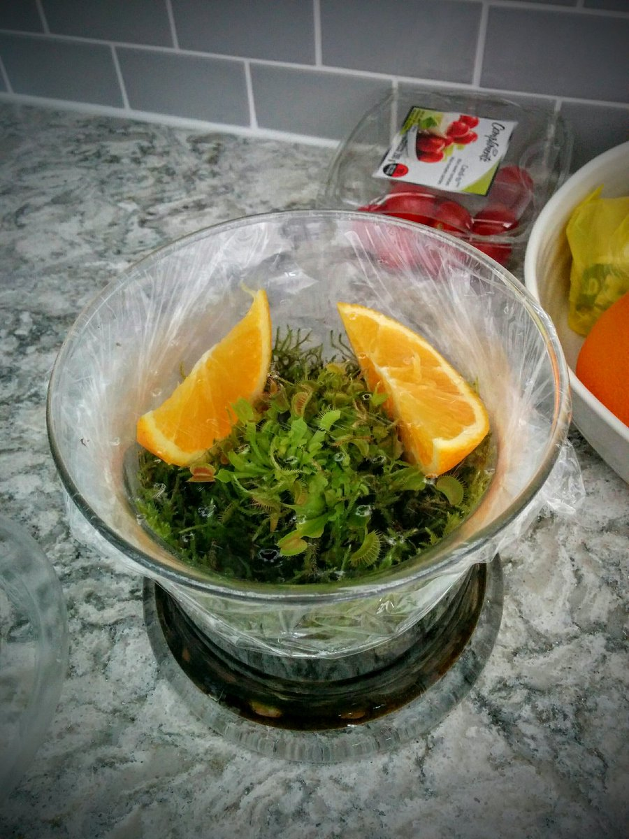 Thomas Hossie On Twitter Homemade Fruit Fly Trap Just Add Orange Slices To A Venus Flytrap Terrarium Cover With Cling Wrap And Poke Holes
