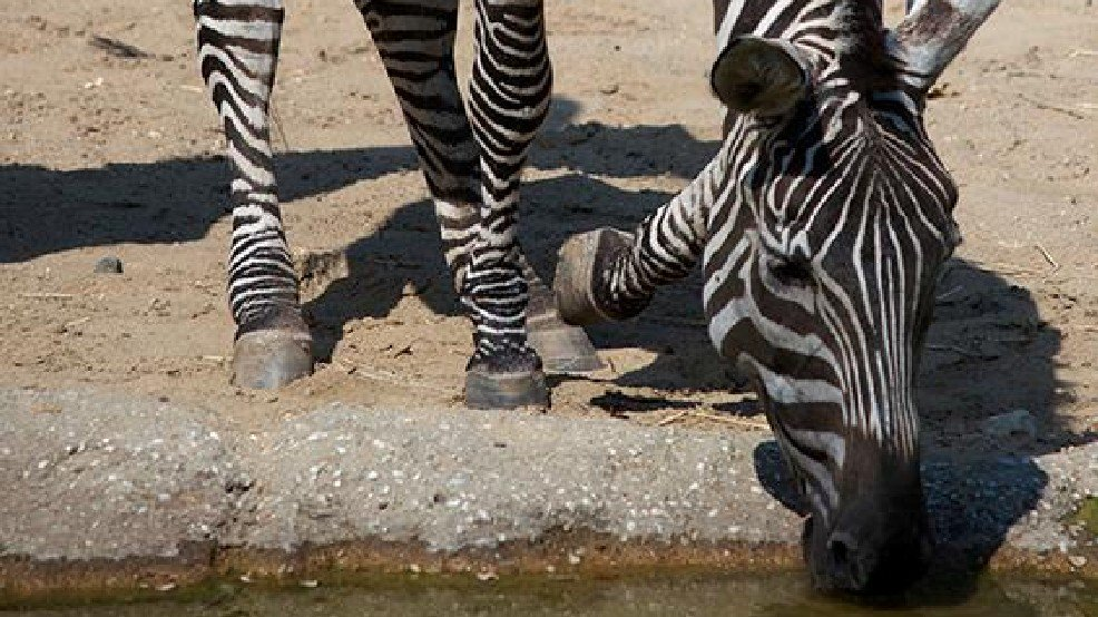 16-year-old zebra euthanized due to declining health at Maryland Zoo: LiveOnFOX45