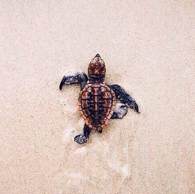 The sea turtles are hatching! Please be careful and help these little guys get to the ocean