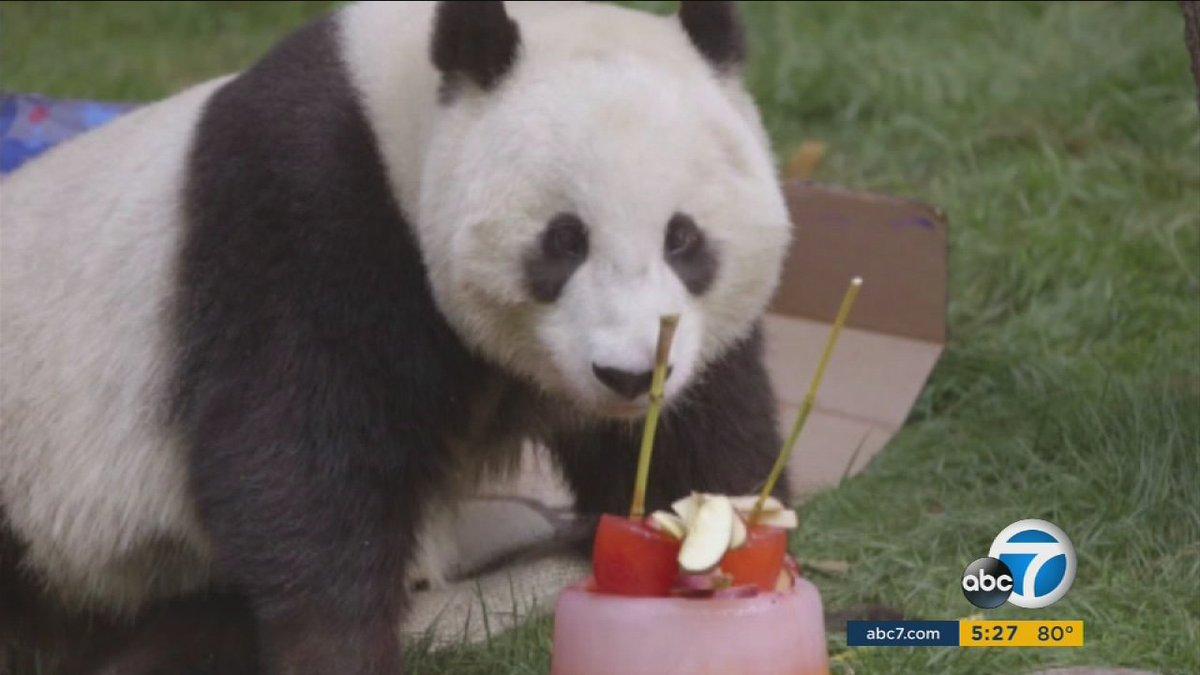 Giant panda Mr. Wu celebrates 4th birthday at @sandiegozoo