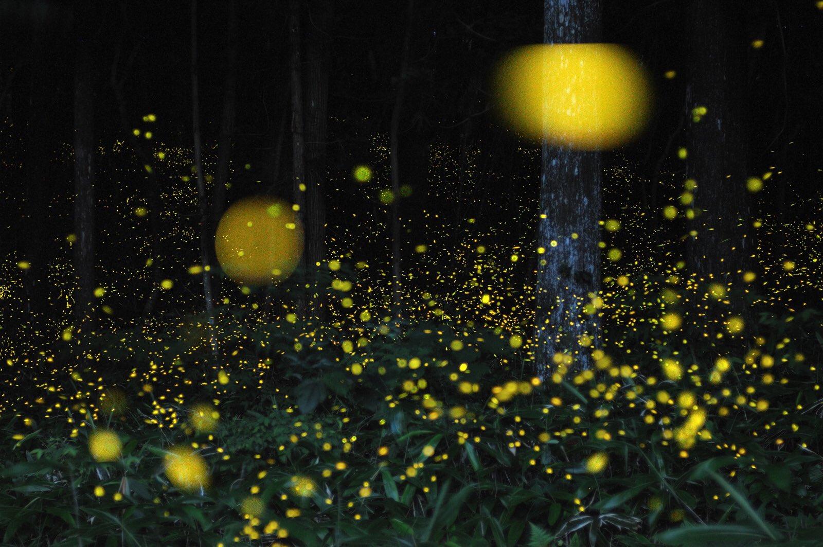Come si illuminano le lucciole