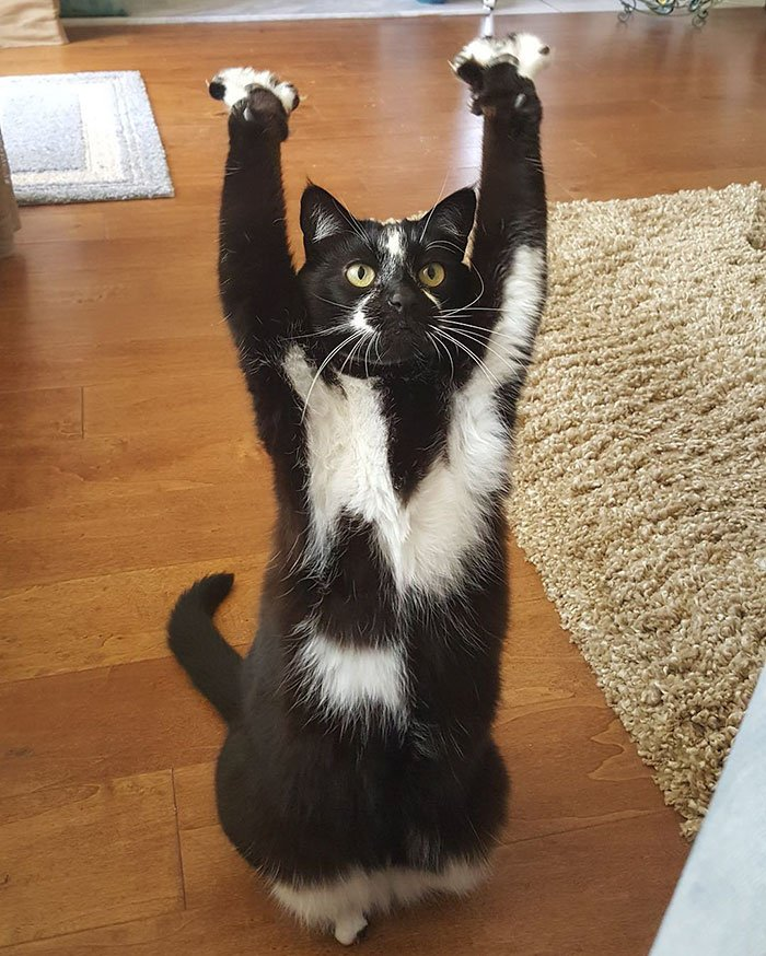 飼い主にも理由はわからないが、とにかくあちこちで「バンザーイし続けるネコ」このポーズから「ゴールキティ」というあだ名で呼ばれているらしい。